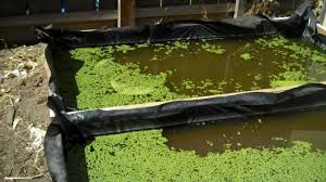growing duckweed in my backyard rabbit duck and chicken food