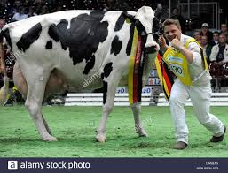 cow ribbon leader and part owner of germany s most beautiful holstein cow