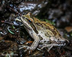 5 frogs coming to a pond near you the national wildlife