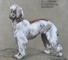afghan hound breeders victoria category individual hamshere gallery specialists in canine