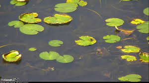 video 2017 09 22 123100 tiny frog hops lily pads youtube