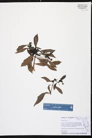 native plants fort myers morinda royoc species page isb atlas of florida plants