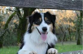 australian shepherd youtube tricks wow what can u0027t this talented aussie border mix do