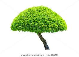 looking for small umbrella shaped evergreen tree