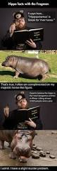 best 25 hippo facts ideas on pinterest facts about hippos