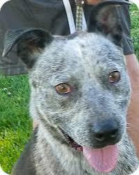 american pitbull terrier mix geyser adopted dog fcp6 15 12 1 metamora in blue heeler