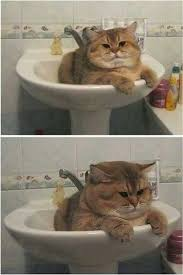 Fat Cat Meme - funny cute fat cat meme photo quotesbae