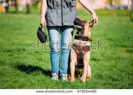belgian malinois near me malinois stock images royalty free images u0026 vectors shutterstock