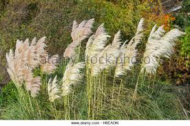 ornamental grass uk stock photos ornamental grass uk stock images