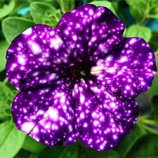 petunia flowers sky petunias not your grandmother s petunias