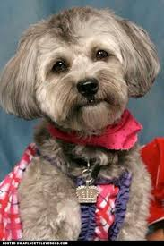 how to cut a shichon s hair image result for havanese hair cuts havanese pinterest