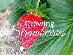 hd how to grow strawberries using a cage youtube