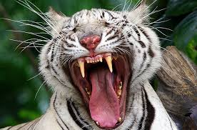 white siberian tiger i like to waste my
