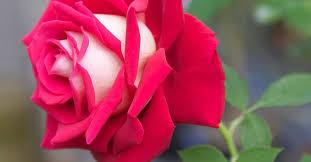 opulenza significato rosa osiria significato e dove trovarla greenstyle