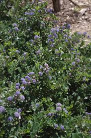 blue mountains native plants ceanothus gloriosus hearts desire mountain lilac