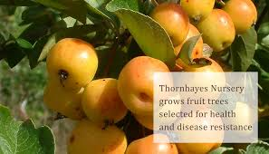 thornhayes nursery grower for specimen trees specialist