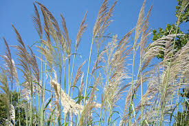 majestic pas grass state by state gardening web articles