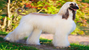 afghan hound dog images everything about afghan hound youtube