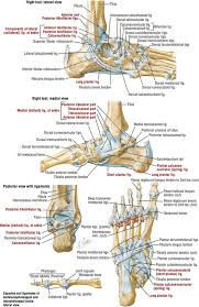 Lateral Collateral Ligament Ankle Foot And Ankle Clinical Gate