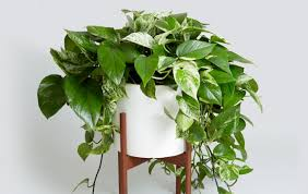 indoor plans latest indoor plants for pothos on home design ideas with hd