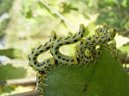 The Inchworm File Craesus Septentrionalis Jpg Wikimedia Commons
