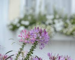 Cleome Flower - lavender and purple cleome flowers in a new england coastal cott