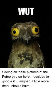 Potoo Bird Meme - wut seeing all these pictures of the potoo bird on here i decided to