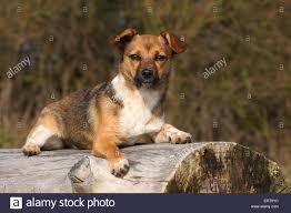 australian shepherd jack russell mix jack russell terrier mongrel stock photos u0026 jack russell terrier