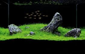 Plants For Aquascaping How To Set Up An Iwagumi Aquarium U2014 Practical Fishkeeping Magazine