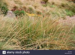 spartina bakeri sand cordgrass in ornamental grass meadow green