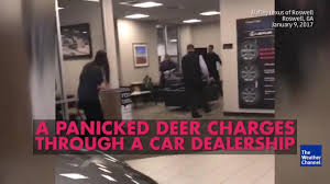 lexus dealership roswell video panicked deer in car dealership