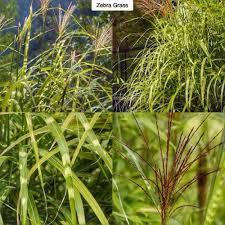 zebra grass miscanthus sinensis zebrinus type perennial