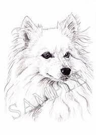 american eskimo dog ireland sasha american eskimo dog pet portraits by stephanie grimes