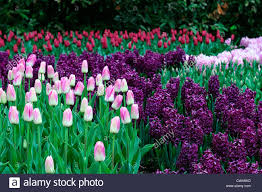 Colour Color Tulipa Dynasty Tulip Pink White Triumph Hyacinth Woodstock Purple