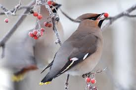 winter berries for birds the national wildlife federation blog