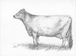 brown swiss dairy cow drawing by j e vincent