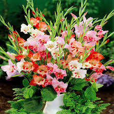 gladiolus flower buy gladiolus flower bulbs easy to grow and excellent cut flowers