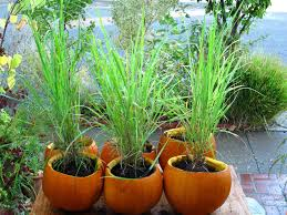 plant lemongrass as a natural way to keep mosquitoes away pure