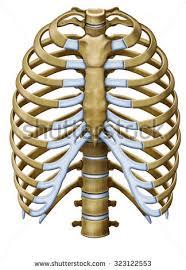 protextora bone rib cage organs stock illustration