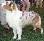 australian shepherd herding australian shepherd dog herding dog breeds from the online dog