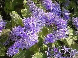Purple Flower On A Vine - flowering vines junction hill nursery