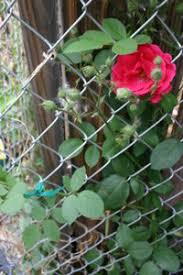 Support For Climbing Plants - cover a chain link fence in no time flat dave u0027s garden