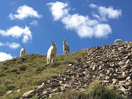Utah wildlife images Utah wildlife officials want to put mountain goats where they jpg