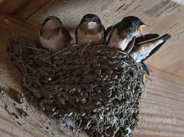 Barn Swallow Nest Pictures Full Nest Show Me Nature Photography
