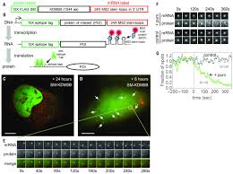 Real Time Quantification Single Rna Translation Dynamics In