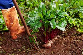 Vegetables You Can Regrow by High Yield Plants For Small Garden Spaces