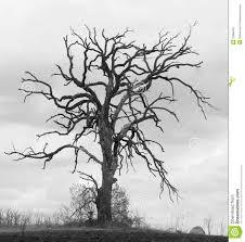 gnarled oak tree ii stock image image of frightening 23985307