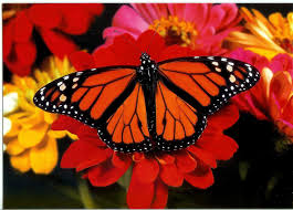 the monarch butterfly national biodiversity teach in