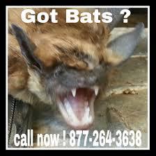 bat removal american animal control llc animal removal