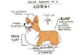 Dog Body Parts Anatomy 4 Reasons Why Corgis Make The Perfect Best Friend